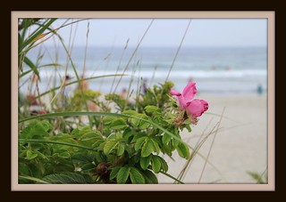 Beach Rose   by mgstanton