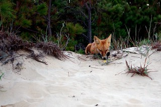 Fox on the dunes