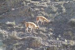 ma, 21/05/2007 - 10:39 - 91a. Vicuña's