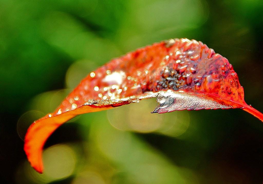 Focus Dew