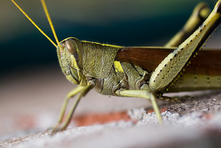 Macro Grasshopper (Orthoptera) | by Michael Whay