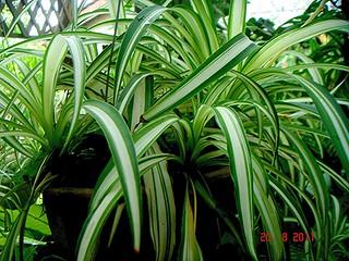Chlorophytum comosum (Thunb.) Jacques   by Ahmad Fuad Morad