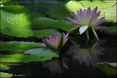 flowers reflection water waterlily boktowergardens