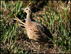 Red-winged Francolin by Laine2005