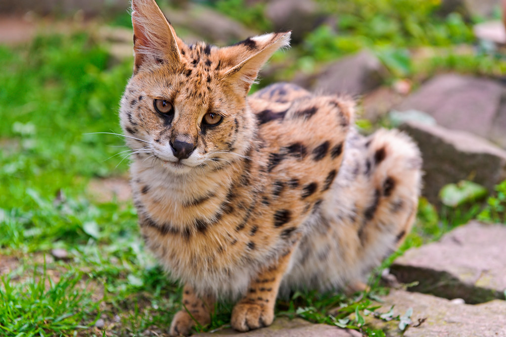 Cute serval   This is one of the two servals living at