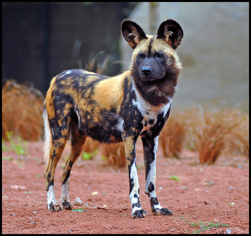 Painted Dog At Chester Zoo