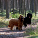 Assar och Hilma i björnskogen