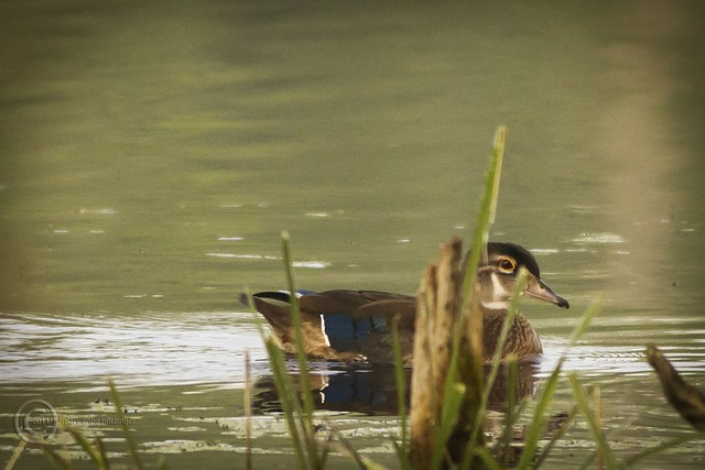 MAP4082 Wood Duck Heading for Cover