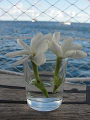 di, 17/08/2010 - 05:03 - 52. Tiare, welriekende bloem van Polynesië