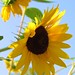 Remarkable Sunflowers
