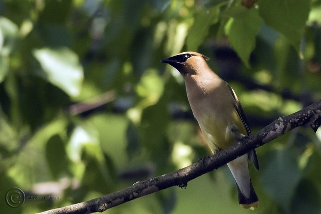 MAP4122 Waxwing Shadow Perch