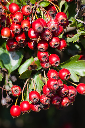 Haws ripe in early September