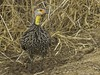 Yellow-necked Francolin by Bob Gunderson