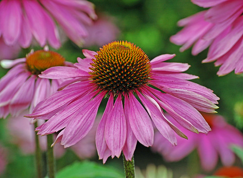 Purple Coneflower | by It's No Game