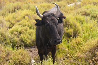 Wild bull in Camargue National Park | by Anna & Michal