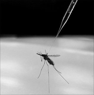 Mosquito That Causes Malaria | by NIAID