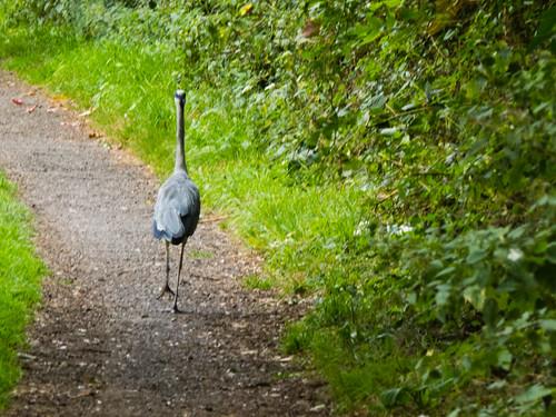 Heron walking away