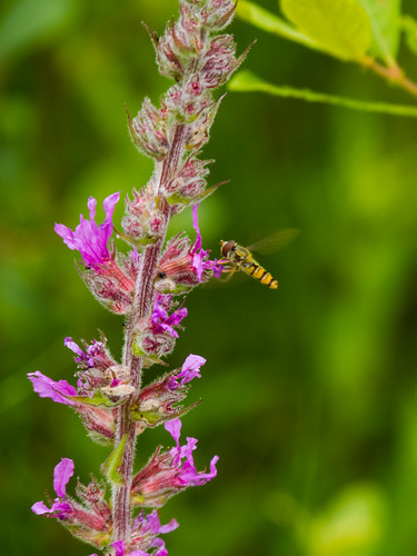 Hoverfly feeding on a willowherb