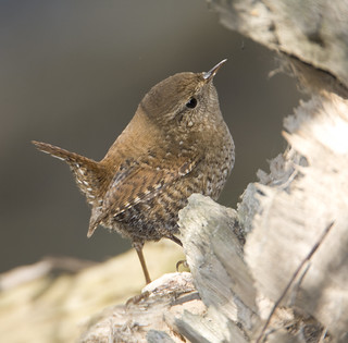 BI110504-043 - Winter Wren | by lgooch