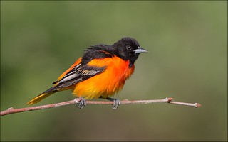 Baltimore Oriole | by Daniel Behm Photography