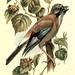 Familiar wild birds v.1