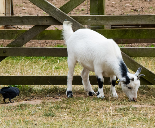 Goat kid with jackdaw, Shugborough Park