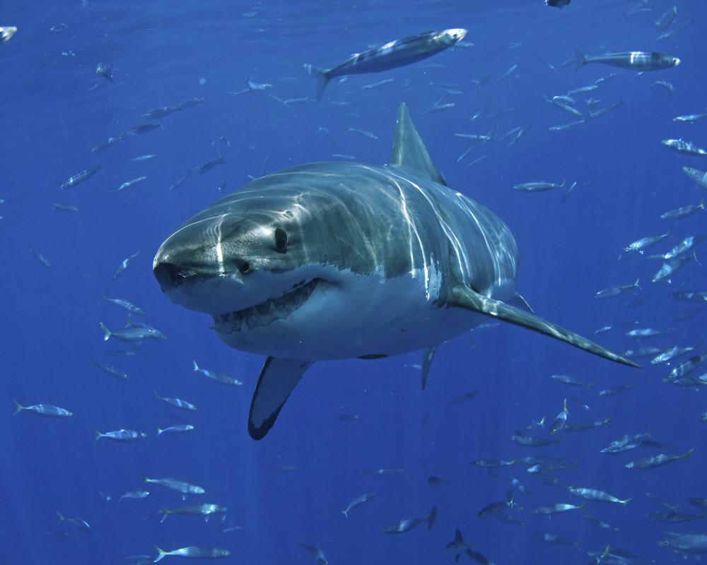 Tiburón-blanco-especie-ovovivíparo
