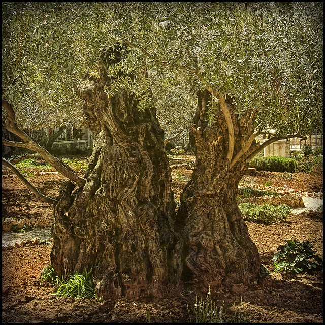 Old Trees from the Mount of Olives