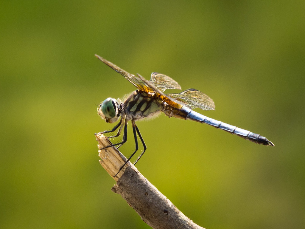 Dragonfly - 32 - E-PL2 - Nikkor-H Auto 85mm f 1 8   Robert