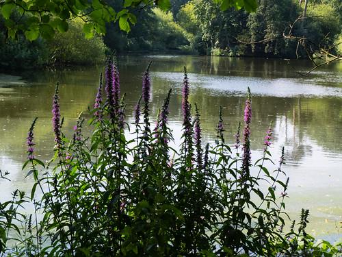 Purple loosestrife flowering