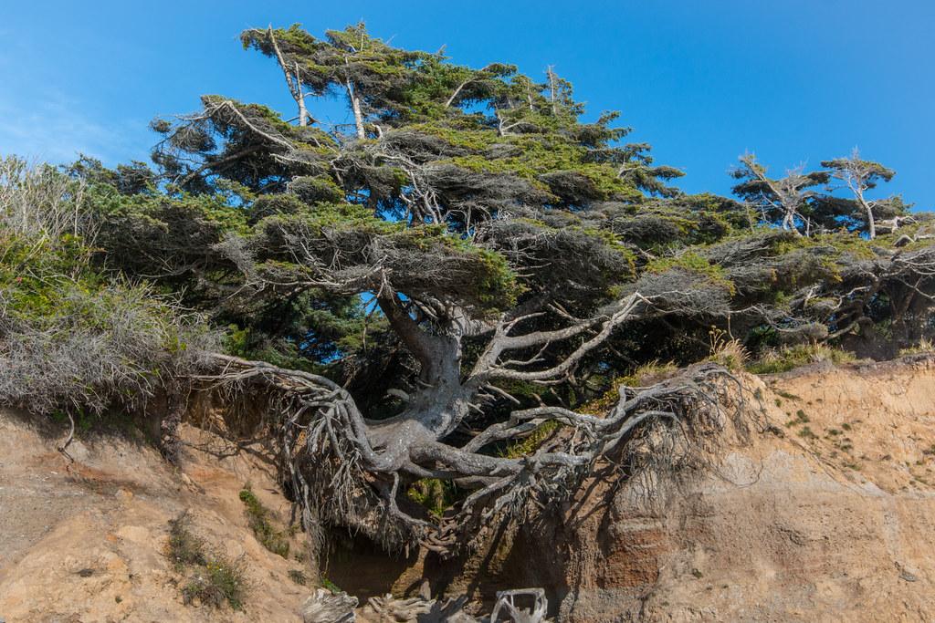 Kalaloch Tree