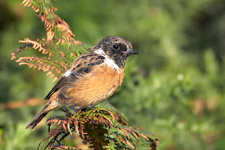 stonechat 20-9-15 | by Brian Wadie Photographer
