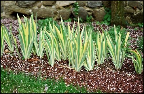 Iris pallida - groupe pallida - Page 2 22451109970_1b86820e7b