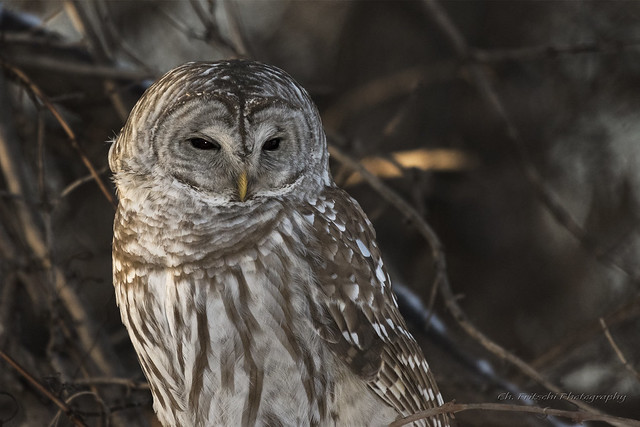 Barred Owl / Chouette rayée / Strix varia