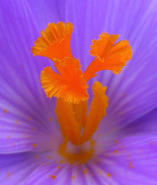 Colourful Crocus..x