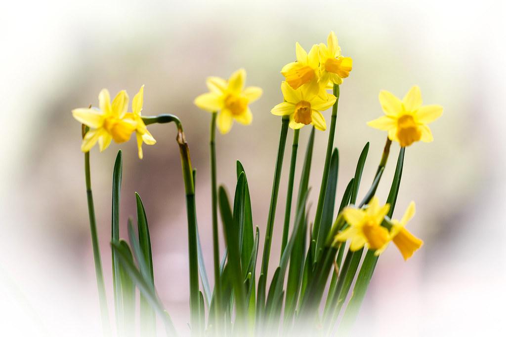 Fiori Narcisi.Narcisi In Fiore Patty Flickr
