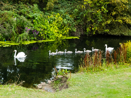 Family of swans in convoy