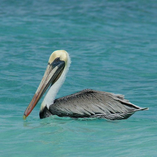 ocean blue vacation color bird beach nature water animal closeup wildlife pelican aruba birdwatcher sony350 thewonderfulworldofbirds