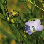 Flax Linseed (Matsudo, Chiba, Japan)