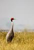 Sarus Crane by Brainstuck