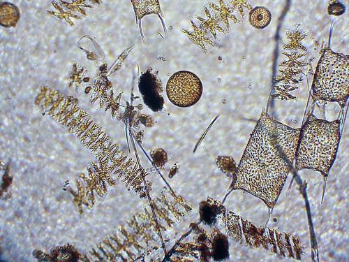 Marine Plankton | by Chris_Moody