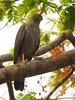 Accipiter bicolor by Juan D Ramirez Rpo