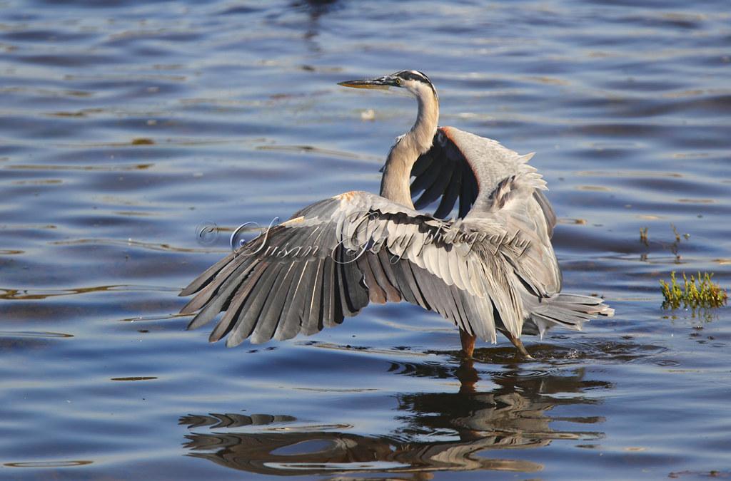Great Blue Heron Jobs