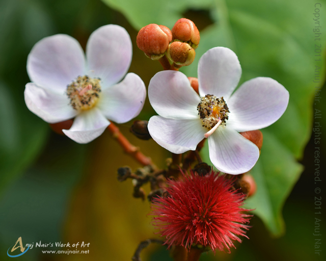 Lipstick tree- Flowers, buds and fruit