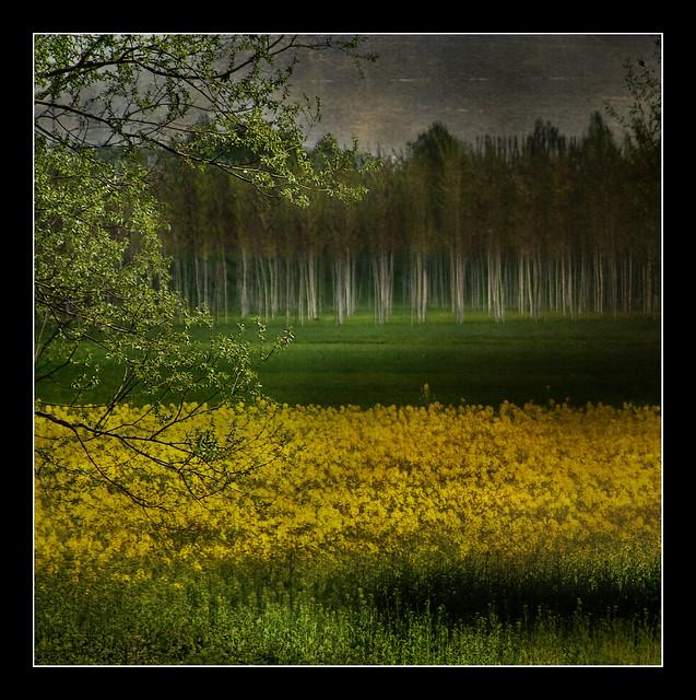 Paesaggi padani: giallo e verde  (Explored)
