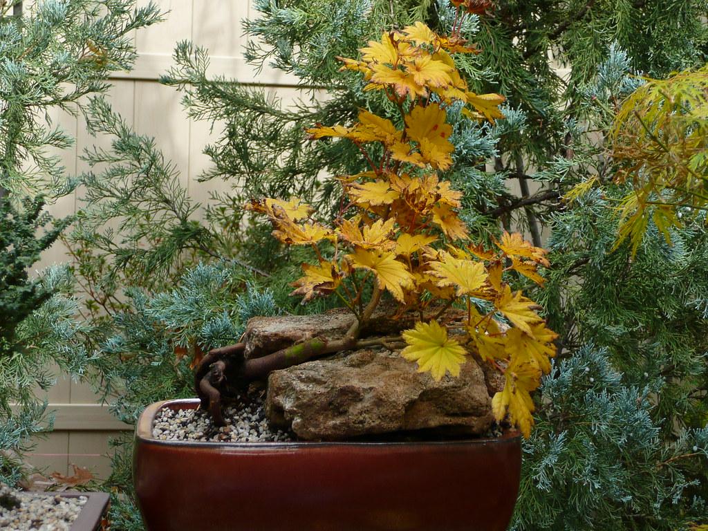 Acer Shirasawanum Aureum Bonsai Acer Shirasawanum Aureu Flickr