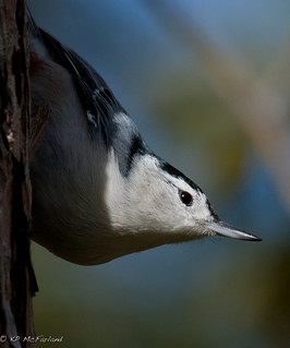 White-breasted Nuthatch (Sitta carolinensis) male | by K.P. McFarland