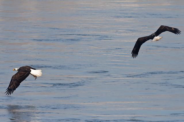 Bald_Eagle_0563_11-09-2011_Resized
