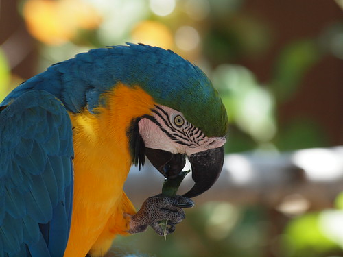 One hungry Parrot. Macaw blue yellow of Brazil. | by Graeme Simpson Images