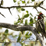 Red-knaped Sapsucker